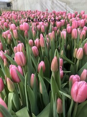 Тюльпан Jumbo Pink (Джамбо Пинк) розовые
