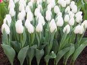 Тюльпаны Экстра класса,  выгодное предложение - foto 3