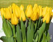 Тюльпаны Strong Gold (Стронг Голд) желтые опт - foto 0