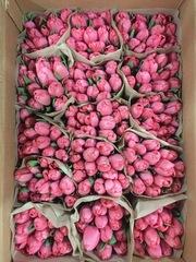Тюльпаны Jumbo Pink розовые оптом к 8 Марта. - foto 0