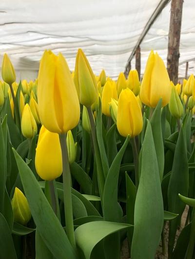 Тюльпаны Strong Gold (Стронг Голд) желтые опт - main