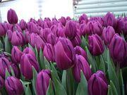 Весенние цветы тюльпаны к 8 Марта оптом