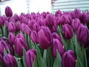 Тюльпаны свежие оптом от 500 шт - foto 1