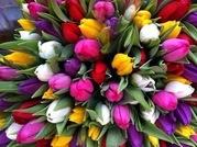 Тюльпаны свежие оптом от 500 шт - foto 4