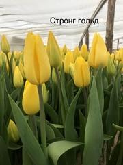 Тюльпаны в ассортименте оптом и в розницу. - foto 3