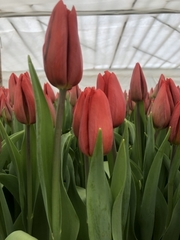 Тюльпаны в ассортименте оптом и в розницу. - foto 4