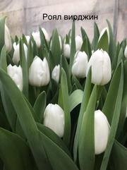 Тюльпаны реализуем оптом к 8 Марта - foto 1