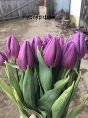 Тюльпаны реализуем оптом к 8 Марта - foto 2