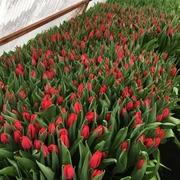 Тюльпаны реализуем оптом к 8 Марта - foto 4
