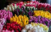 Тюльпаны лучших сортов оптом со склада в Минске