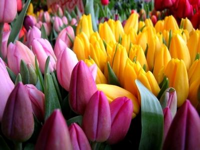 Тюльпаны реализуем оптом к 8 Марта - main